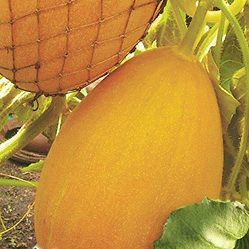 Growing Organically Banana - NIKITOVKASeeds - Melon Zvaba - 10 Seeds - Organically Grown - NON GMO