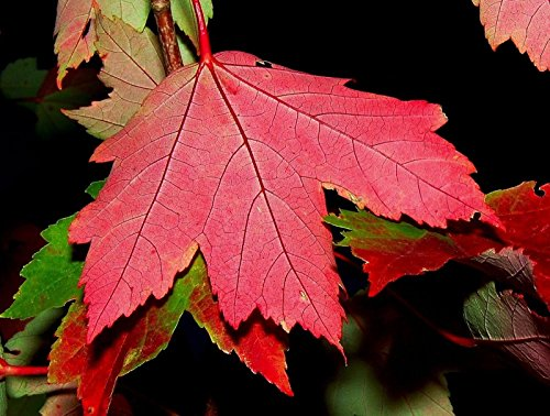 - Red Maple, Acer rubrum, Tree Seeds (Fall Color, Fast, Hardy) 30pcs