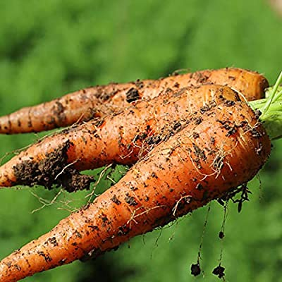 Oliote 1 Pack Carrot Seeds Garden Vegetable Plants Multi-Colored Carrots Seeds Vegetables : Garden & Outdoor