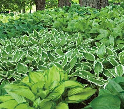 Emerald Isle Hosta Collection - 20 Bareroot Hosta Plants (E105)