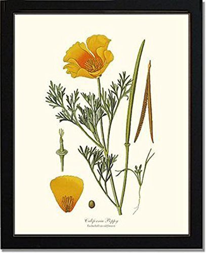 Vintage Botanical Flower Art Print: Poppy, California (Step)