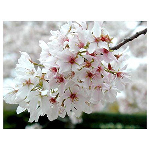 (3 Plants Yoshino Flowering Cherry Tree Live Established Rooted in 2.5