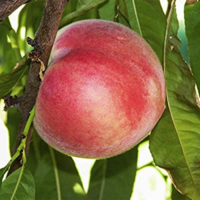 Feiching Tao White Peach (Prunus) Tree, Live Bareroot Standard Fruit Tree (1-Pack) : Garden & Outdoor