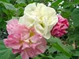 3 Color Change Confederate Rose - Hibiscus mutabulis - 30 seeds