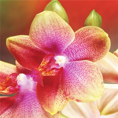 free ship ``Hot `40seeds Diffenent Mixed Butterfly orchid Bonsai flowers orchid seed POT FLOWER PLANT GARDEN DIY HOME (Free Orchids Ship)