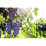 Weintraube Weinrebe Keltertraube Regent 80//100 cm kernarm blau