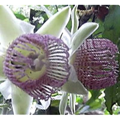 Passiflora tiliifolia   10_Seeds : Garden & Outdoor