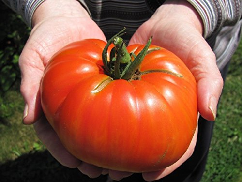 Goliath Hybrid Tomato Seeds ****Bulk 50 Count Pkt**** 1 Pounders * Bright Red ()