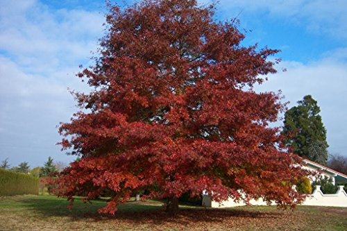 Northern Red Oak Tree – Quercus macrocarpa - Healthy Established Roots - One Trade Gallon - 1 Plant by Growers Solution