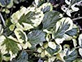 Cream & Green Winter Cress 15 Seeds - Herb
