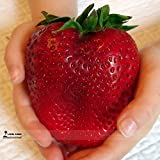 buy Rarest Heirloom Super Giant Japan Red Strawberry Organic Seeds, Professional Pack, 100 Seeds / Pack, Sweet Juicy Fruit now, new 2018-2017 bestseller, review and Photo, best price $10.00