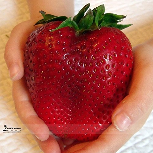 Rarest Heirloom Super Giant Japan Red Strawberry Organic Seeds, Professional Pack, 100 Seeds / Pack, Sweet Juicy Fruit