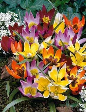 35 Deer Resistant Tulips Bulbs-wildflower Mixture by Daylily Nursery