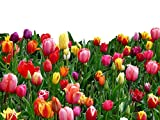 20 Landscape Mixture Tulip Bulbs - Tulipa Triumph