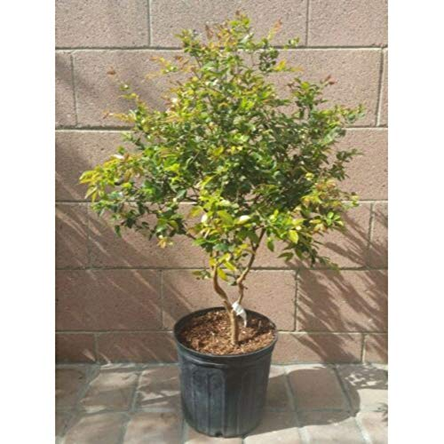 Myrciaria Cauliflora Tropical Fruit Tree 20-25 Inch Height in 3 Gallon Pot #BS1 by iniloplant (Image #1)