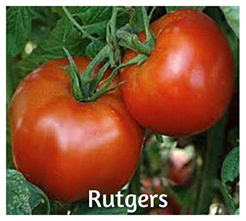 100 Rutgers Tomato Seeds