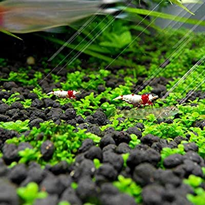Sunshay Quick Growth High Germination Rate Water Grass Seeds Aquarium Temple Plant Seeds Pack : Industrial & Scientific