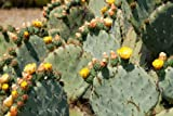 Opuntia robusta HARDY GIANT BLUE PRICKLY PEAR CACTUS Seeds