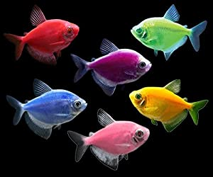 Collection of 6 colorful Tetra Glofish for sale