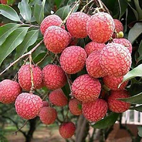 Lychee Potted Starter Plant Tropical Fruit Tree Bonsai Litchi 30 to 100 ft Garden