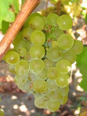 Vitis vinifera Chardonnay WINE GRAPE Seeds!