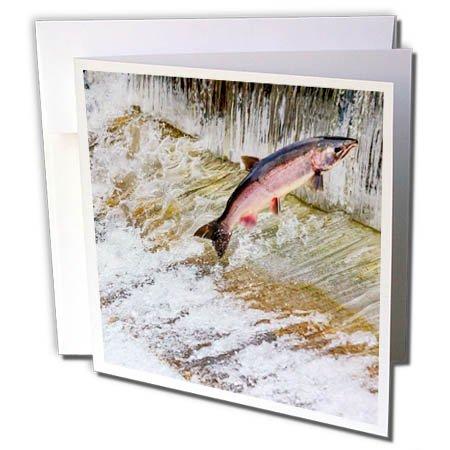 3dRose Danita Delimont - fish - Salmon jumping up a fish ladder. Issaquah Hatchery, Washington - 1 Greeting Card with envelope (gc_260549_5)