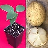 Langsat Lansium Parasiticum Domesticum Lanzones Duku Tropical Fruit Tree Plant