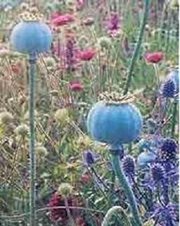 Amazon 250 poppy flower seeds papaver somniferum giganteum 250 giganteum poppy papaver somniferum flower seeds mightylinksfo