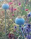 250 Giganteum Poppy Papaver Somniferum Flower Seeds
