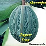 ~MACOMBO~ Theobroma bicolor WHITE CACAO TREE the JAGUAR TREE LIVE Medium PLANT