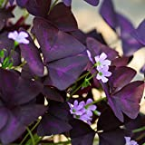 Oxalis Triangularis Bulbs Purple Shamrocks - 20 Robust Bulbs 3/4 inch Tubers - Grows Indoors and Out