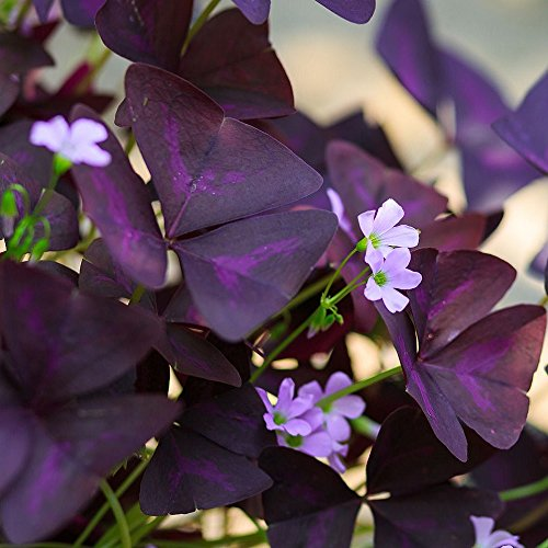 Oxalis Triangularis Bulbs - Purple Shamrocks - 20 Robust Bulbs - Grows Indoors & Out | Ships from Easy to Grow TM (Best Flowers To Grow From Seed In Pots)