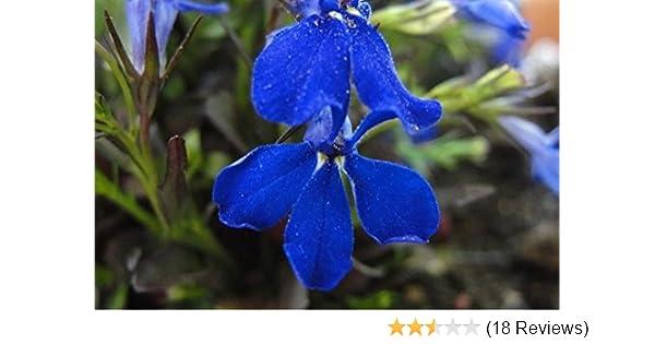 Amazoncom 200 Electric Blue Lobelia Monsoon Lobelia Erinus Flower