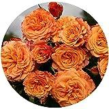 Crazy Love Rose Bush Reblooming Sunbelt Rose - Double Apricot Orange Flowers - Heat Resistant Grown Organic Potted - Stargazer Perennials