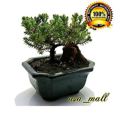 Bonsai Tree Zen Juniper Little Live Nature Japanese Pot Indoor Plant Desk Xmas
