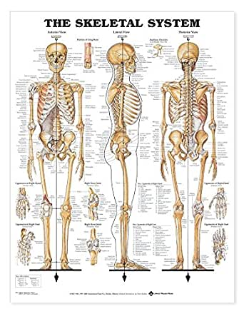 Skeletal System Anatomical Chart Giant Size 42x62 Science