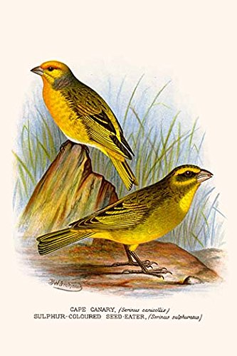 (Buyenlarge 0-587-29591-0-G812 Cape Canary & Sulphur-Colored Seed Eater (Edition 4684)