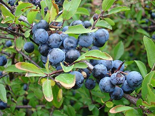 Portal Cool Seeds Package: Prunus Spinosa Sloe 10 Seeds Blackthorn Gin Preserve Hedge Hardy Tree Ukfreep&P