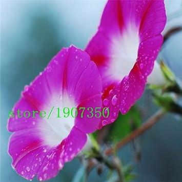 Amazon com : Morning glory seeds 500pcs Petulantly Seeds Balcony