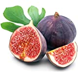 """Chicago Edible Fig Plant - Ficus - Hardy - 2.5"""" Pot"""