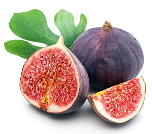 Chicago Edible Fig Plant - Ficus - Hardy - 2.5