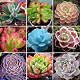 Rare Lithops Seeds Succulents Raw Stone Cactus Seeds Stems Potted Flowers