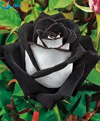 200 Pcs / Pack China Rare Black+white Rose Flower Seeds
