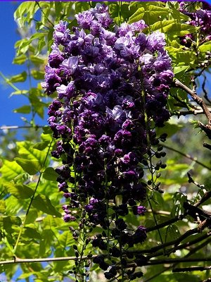 BLACK DRAGON WISTERIA - DOUBLE FLOWERING FRAGRANT VINE 2 - YEAR LIVE PLANT by Japanese Maples and Evergreens (Image #2)
