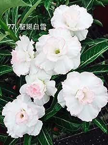 Go Garden 100% Fresh Real Adenium Obesum semillas - Bonsai Desert Rose Flower Plant Sementes S77: 10pcs