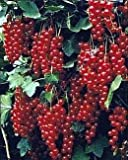 "Jonkheer Van Tets Red Currant Bush - Top Rated For Flavor - 2.5"" Pot"