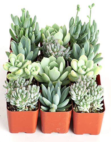 Shop Succulents | It's a Boy Blue Live Plants, Hand Selected Variety Pack of Mini Succulents | | Collection of 12 in 2