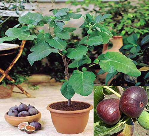 10 Rare Sweet Common fig Fruit Fresh Tree Seeds, fig 'Brown Turkey' Flavor Sweet