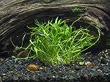Aquatic Arts Micro Sword Plant – Live Aquarium Plants