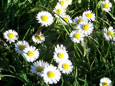 daisy, ENGLISH, dwarf WHITE flower, 400 SEEDS! GroCo